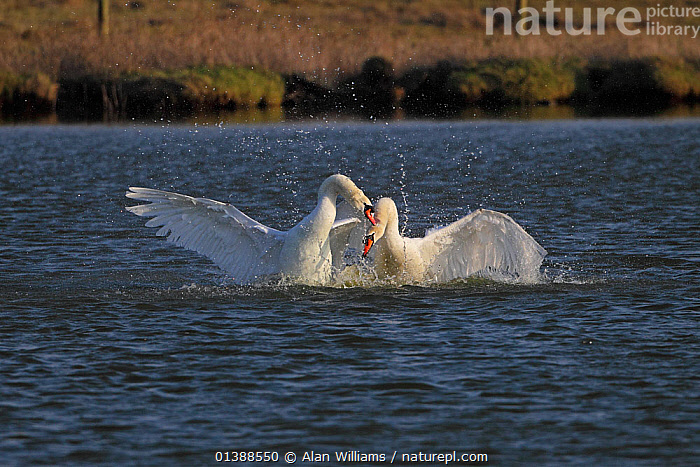 Mute swans (Cygnus olor) two males fighting over territory, Lancashire, UK, March.  ,  AGGRESSION,ANATIDAE,BIRDS,ENGLAND,EUROPE,FIGHTING,LAKES,MALES,PONDS,PORTRAITS,SWANS,TERRITORIAL,TWO,UK,VERTEBRATES,WATER,WATERFOWL,WHITE,United Kingdom,Wildfowl  ,  Alan Williams