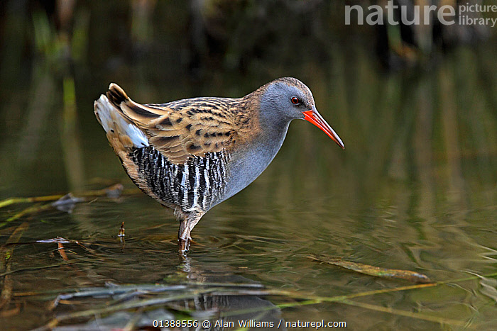 Water rail (Rallus aquaticus) foraging in pond, Merseyside, UK, November.  ,  BEHAVIOUR,BIRDS,ENGLAND,EUROPE,FEEDING,FORAGING,PONDS,PORTRAITS,PROFILE,RAILS,RALLIDAE,UK,VERTEBRATES,WATER,WATERFOWL,United Kingdom  ,  Alan Williams