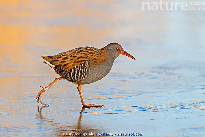 Water rail (Rallus aquaticus) walking on ice on frozen pond in early morning sunlight, Merseyside, UK, February.  ,  BIRDS,DAWN,ENGLAND,EUROPE,ICE,PONDS,PORTRAITS,PROFILE,RAILS,RALLIDAE,SUNRISE,UK,VERTEBRATES,WALKING,WATER,WATERFOWL,United Kingdom  ,  Alan Williams