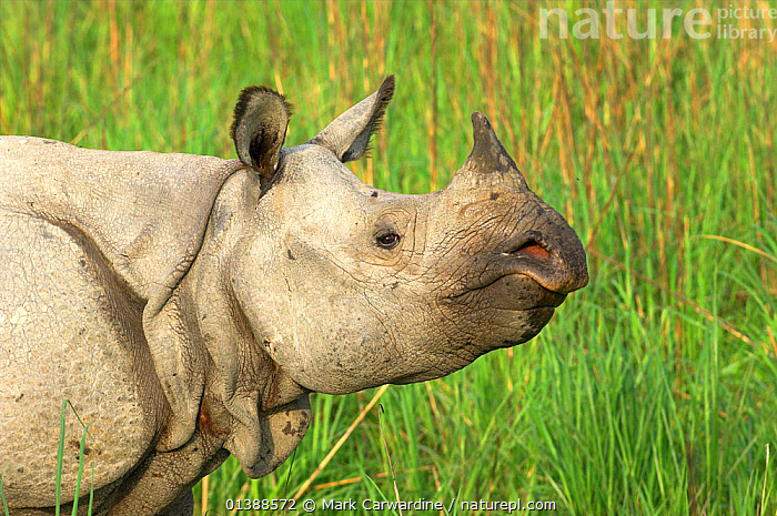Indian / Greater One-horned Rhinoceros (Rhinoceros unicornis) in profile. Kaziranga National Park, Assam, north India. Book plate from Mark Carwardine's Ultimate Wildlife Experiences.  ,  ASIA,ASSAM,ENDANGERED,HEADS,INDIA,INDIAN SUBCONTINENT,MAMMALS,NP,PERISSODACTYLA,PORTRAITS,PROFILE,RESERVE,RHINOCEROSES,VERTEBRATES,National Park , rhino, rhinos, rhinoceros, , rhino, rhinos, rhinoceros,  ,  Mark Carwardine