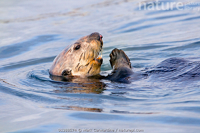 Sea Otter (Enhydra lutris) swimming at the sea surface on its back. Monterey, California, March. Book plate from Mark Carwardine's Ultimate Wildlife Experiences.  ,  CALIFORNIA,CARNIVORES,CUTE,ENDANGERED,MAMMALS,MARINE,MUSTELIDAE,MUSTELIDS,NORTH AMERICA,OTTERS,SURFACE,THREATENED,USA,VERTEBRATES  ,  Mark Carwardine