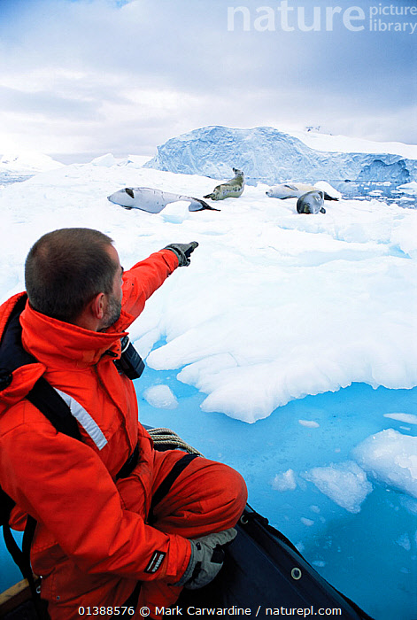 Man in zodiac boat watching Crabeater Seals (Lobodon carcinophagus) resting on sea ice. Antarctic Peninsula, January. Book plate from Mark Carwardine's Ultimate Wildlife Experiences.  ,  ANTARCTICA,CARNIVORES,ecotourism,GROUPS,HABITAT,ICE,MAMMALS,MAN,MARINE,outdoors,PEOPLE,PINNIPEDS,SEALS,TOURISM,VERTEBRATES,VERTICAL,WILDLIFE  ,  Mark Carwardine