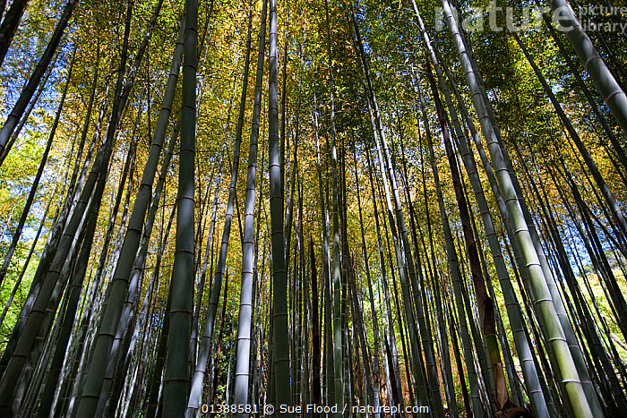 Bamboo forest, Shikoku Mura open air museum, Takamatsu, Shikoku Island, Japan, May  ,  ASIA,bamboo,CANOPY,catalogue5,forest,FORESTS,JAPAN,large group of objects,low angle view,multitude,nature,Nobody,open air museum,outdoors,PLANTS,Shikoku Island,Shikoku Mura,Takamatsu,TEMPERATE,TREES,TRUNKS,unusual angle,woodland,WOODLANDS  ,  Sue Flood