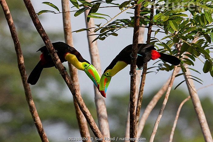 Keel billed toucans (Ramphastos sulfuratus) near Boca Tapada, Costa Rica. January  ,  BEHAVIOUR,BIRDS,BONDING,CENTRAL AMERICA,COSTA RICA,DISPLAY,INTERACTION,TOUCANS,TREES,TROPICAL,TWO,VERTEBRATES,Communication,PLANTS  ,  Sue Flood
