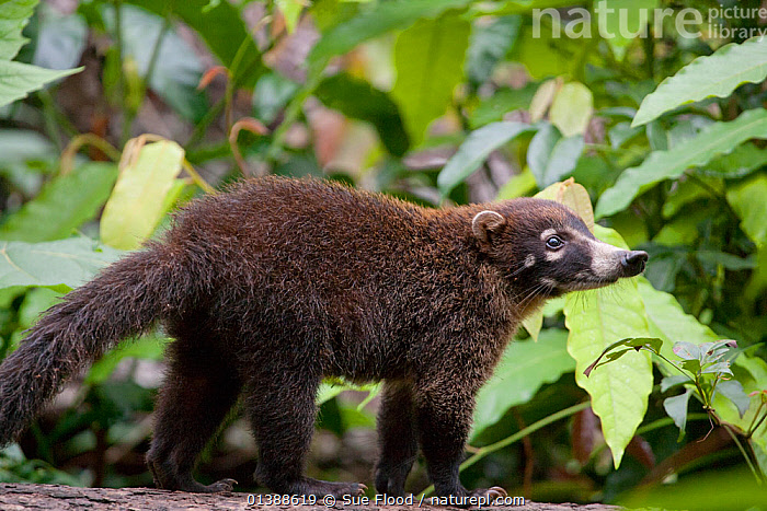 Coatimundi or White nosed coati (Nasua nasua narica) at Laguno de Lagartos, Boca Tapada, Costa Rica  ,  CARNIVORES,CENTRAL AMERICA,COATIS,COSTA RICA,MAMMALS,PORTRAITS,PROFILE,TROPICAL,VERTEBRATES  ,  Sue Flood