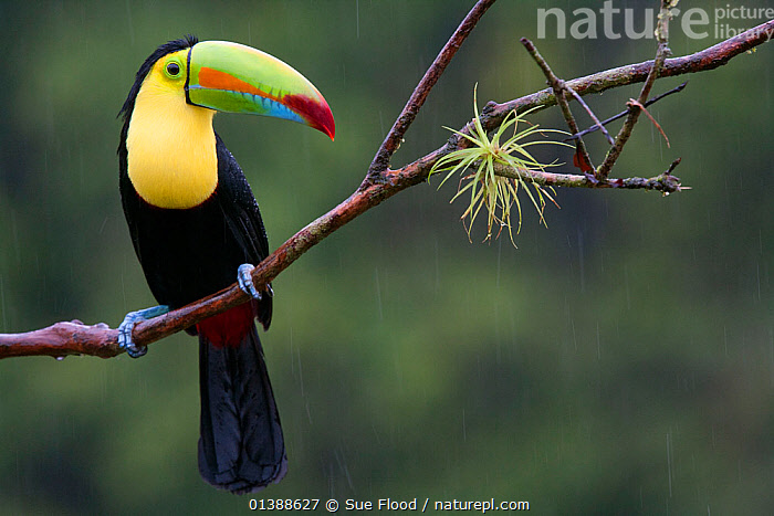 Keel billed toucan (Ramphastos sulfuratus) near Boca Tapada, Costa Rica. January 2011.  ,  BIRDS,CENTRAL AMERICA,COSTA RICA,PORTRAITS,TOUCANS,TROPICAL,VERTEBRATES  ,  Sue Flood