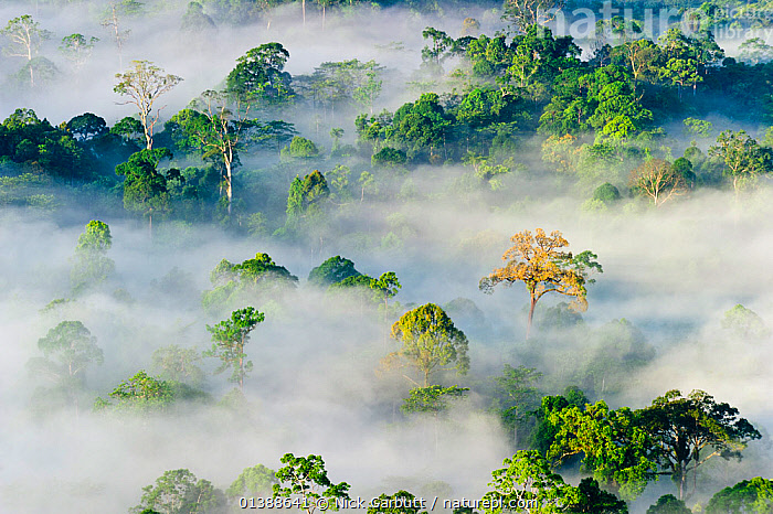 Mist and low cloud hanging over lowland Dipterocarp Rainforest, just after sunrise, Danum Valley, Sabah, Borneo, May 2011., ASIA,BORNEO,CANOPY,CLOUDS,DAWN,ETHERIAL,EVOCATIVE,FORESTS,HIGH ANGLE SHOT,LANDSCAPES,MALAYSIA,MIST,MOOD,MYSTICAL,SOUTH EAST ASIA,SUNRISE,TREES,TREETOPS,TROPICAL RAINFOREST,Weather,PLANTS, Nick Garbutt
