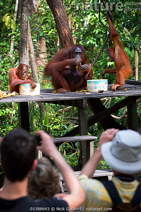 Bornean orang-Utan (Pongo pygmaeus) female with two infants on a feeding platform, watched by tourists, Camp Leakey, Tanjung Puting NP, Kalimantan, Borneo., BABIES,BEHAVIOUR,ENDANGERED,ENDEMIC,FACES,FEEDING,FEMALES,GREAT APES,GROUPS,HAIRY,HOMINIDAE,INDONESIA,INTERACTION,JUVENILE,KALIMANTAN,MAMMALS,MOTHER BABY,NP,ORANGUTAN,PEOPLE,PORTRAITS,PRIMATES,SOUTH EAST ASIA,THREE,TOURISM,TREES,VERTICAL,YOUNG,Asia,National Park,PLANTS, Nick Garbutt