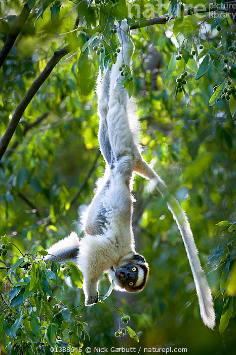 RF- Verreaux's sifaka lemur (Propithecus verreauxi) hanging from  branch while feeding in canopy. Berenty Private Reserve, southern Madagascar. Endangered species. (This image may be licensed either as rights managed or royalty free.)  ,  AFRICA,BEHAVIOUR,BRANCHES,BROWN,CANOPY,ENDANGERED,ENDEMIC,FEEDING,FLUFFY,FORESTS,INDRIIDAE,LEAVES,LEMURS,looking-at-camera,MADAGASCAR,MAMMALS,PORTRAITS,PRIMATES,PROFILE,RESERVE,SIFAKAS,TREES,upside down,VERTEBRATES,VERTICAL,Vulnerable,WHITE,PROPITHECUS VERREAUXI,Animal,Vertebrate,Mammal,Sifaka,Verreaux's sifaka,Animalia,Animal,Wildlife,Vertebrate,Mammalia,Mammal,Primate,Primates,Indriidae,Prosimians,Propithecus,Sifaka,Propithecus verreauxi,Verreaux's sifaka,Propithecus majori,Propithecus verreauxoides,Hanging,Mischief,Skill,Colour,White,Upside Down,Nobody,Africa,Madagascar,Malagasy Republic,Republic of Madagascar,Close Up,Plant,Branch,Branches,Leaf,Foliage,Tail,Outdoors,Nature,Endangered Species,Threatened,Feeding,Biodiversity hotspots,Biodiversity hotspot,Yellow Eyes,Direct Gaze,Eye colour,Berenty Private Reserve,RF,Royalty free,RFCAT1,RF17Q1,Endangered species,threatened,Vulnerable,,eye contact,  ,  Nick Garbutt