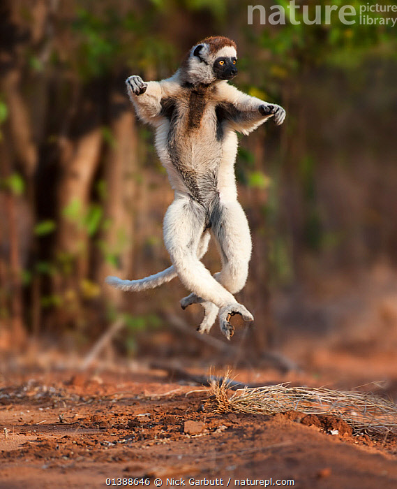 Verreaux's sifaka lemur (Propithecus verreauxi)  dancing or skipping across open ground, Gallery Forest, Berenty Reserve, southern Madagascar., AFRICA,AGILE,ATHLETIC,BEHAVIOUR,BROWN,DANCE,ENDANGERED,ENDEMIC,FLUFFY,FORESTS,HUMOROUS,INDRIIDAE,JUMPING,LEMURS,MADAGASCAR,MAMMALS,MOVEMENT,PORTRAITS,PRIMATES,PROFILE,RESERVE,SIFAKAS,TREES,VERTEBRATES,VERTICAL,VULNERABLE,WHITE,Concepts,PLANTS, Nick Garbutt