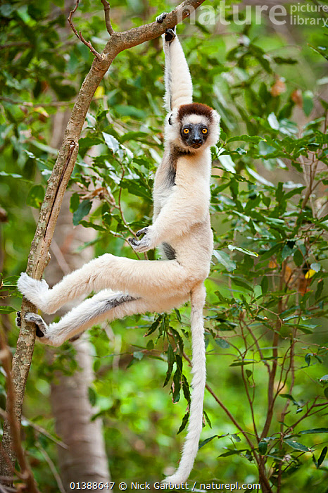 Verreaux's sifaka lemur (Propithecus verreauxi) hanging in relaxed posture from a branch in the canopy, Berenty Private Reserve, southern Madagascar.  ,  AFRICA,BEHAVIOUR,BRANCHES,BROWN,CANOPY,ENDANGERED,ENDEMIC,FACES,FLUFFY,FORESTS,INDRIIDAE,LEAVES,LEMURS,LOOKING AT CAMERA,MADAGASCAR,MAMMALS,PORTRAITS,PRIMATES,PROFILE,RESERVE,SIFAKAS,TREES,VERTEBRATES,VERTICAL,VULNERABLE,WHITE,PLANTS  ,  Nick Garbutt