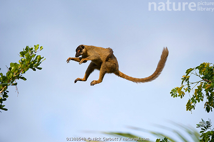 Common brown lemur (Eulemur fulvus fulvus) female with infant on her back, leaping through the forest canopy, dry deciduous forests near Anjajavy, north west Madagascar.  ,  AFRICA,AGILE,BABIES,BROWN,CANOPY,DECIDUOUS,ENDANGERED,ENDEMIC,FEMALES,FLUFFY,FORESTS,JUMPING,JUVENILE,LEAPING,LEMURS,MADAGASCAR,MAMMALS,MOTHER BABY,MOVEMENT,PORTRAITS,PRIMATES,PROFILE,TAILS,VERTEBRATES,YOUNG  ,  Nick Garbutt