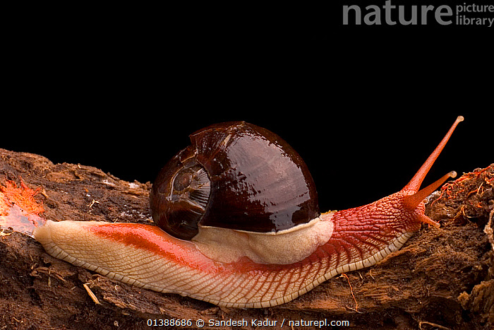 Land snail (Indrella ampulla) one of nearly 270 species of land snails found in the Western Ghats, Southern India  ,  ARIOPHANTIDAE,ASIA,GASTROPODS,HIGHLANDS,INDIA,INDIAN SUBCONTINENT,INVERTEBRATES,MOLLUSCS,SAHYADRI,SNAILS,SOUTHERN INDIA,TERRESTRIAL,TROPICAL  ,  Sandesh Kadur