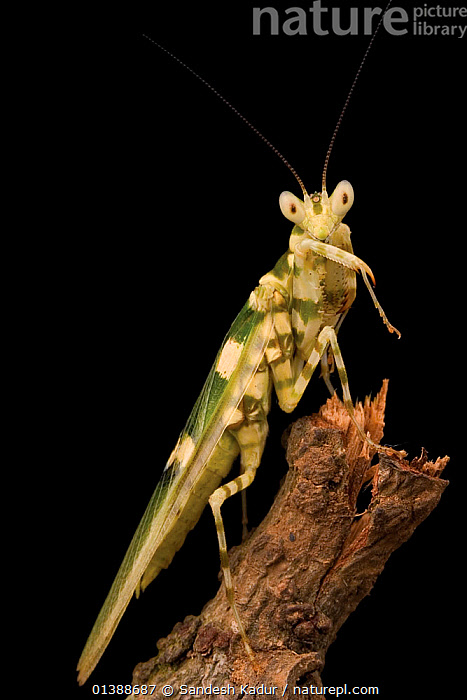 Praying mantis (Mantidae) Western Ghats, Southern India  ,  ARTHROPODS,ASIA,HIGHLANDS,INDIA,INDIAN SUBCONTINENT,INSECTS,INVERTEBRATES,MANTIDS,MANTODEA,NIGHT,PORTRAITS,SAHYADRI,SOUTHERN INDIA,TROPICAL,VERTICAL  ,  Sandesh Kadur