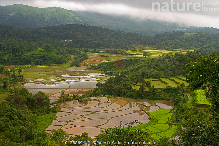While mountain slopes are mostly used for plantations of coffee and tea, lowland areas are used to cultivate rice in paddy fields, which requires land that can retain water. Western Ghats, Karnataka, Southern India  ,  AGRICULTURE,ASIA,CROPS,CULTIVATING,FARMLAND,FOOD,HIGHLANDS,INDIA,INDIAN SUBCONTINENT,LANDSCAPES,MONOCULTURE,RICE,SAHYADRI,SOUTHERN INDIA,TROPICAL,WATER,WETLANDS  ,  Sandesh Kadur