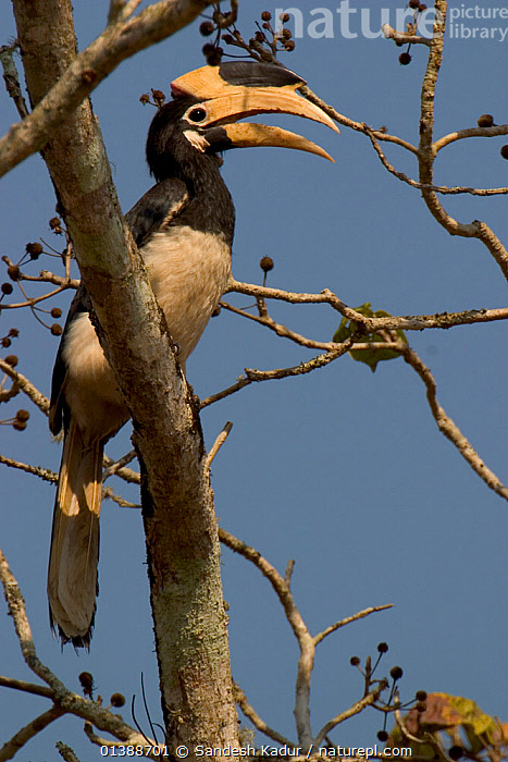 Malabar Pied hornbill (Anthracoceros coronatus) feeding in tree, Western Ghats, Southern India  ,  ASIA,BEAKS,BILLS,BIRDS,HIGHLANDS,HORNBILLS,INDIA,INDIAN SUBCONTINENT,PORTRAITS,PROFILE,SAHYADRI,SOUTHERN INDIA,TROPICAL,VERTEBRATES,VERTICAL  ,  Sandesh Kadur