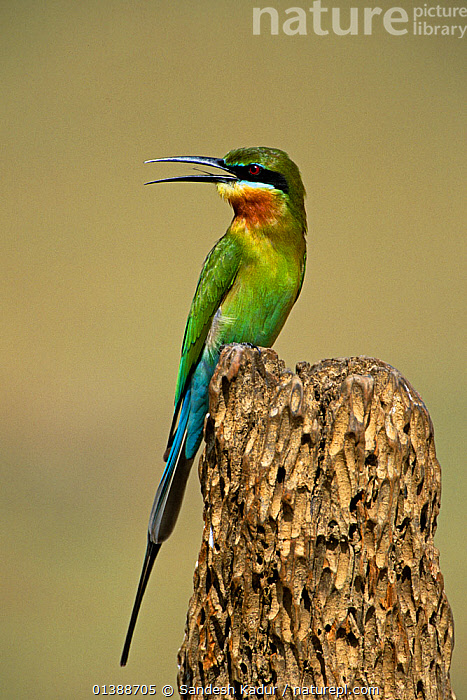 Blue-tailed Bee-eater (Merops philippinus) Western Ghats, Southern India  ,  ASIA,BEE EATERS,BIRDS,HIGHLANDS,INDIA,INDIAN SUBCONTINENT,PORTRAITS,PROFILE,SAHYADRI,SOUTHERN INDIA,TROPICAL,VERTEBRATES,VERTICAL  ,  Sandesh Kadur