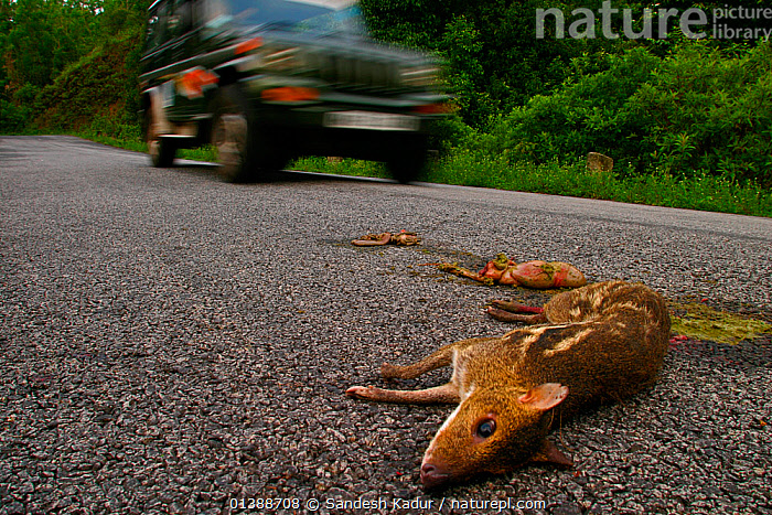 Indian spotted chevrotain / Mouse deer (Moschiola indica) road kill, Western Ghats, Southern India  ,  ARTIODACTYLA,ASIA,DEATH,DEER,HIGHLANDS,INDIA,INDIAN SUBCONTINENT,KILL,MAMMALS,MOUSE,MOUSE DEER,ROAD,ROADS,SAHYADRI|,SOUTHERN INDIA,TRAGULIDAE,TROPICAL,VEHICLES,VERTEBRATES  ,  Sandesh Kadur