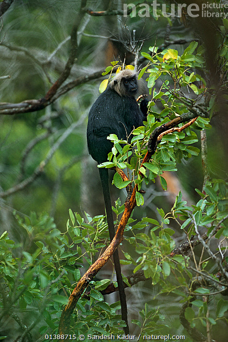 Nilgiri Langur (Trachypithecus johnii) feeding in tree, endemic to the Western Ghats south of Coorg, the Nilgiri Langur is one of nearly 16 species of primate found in India.  ,  ASIA,CERCOPITHECIDAE,EATING,ENDEMIC,FEEDING,HIGHLANDS,INDIA,INDIAN SUBCONTINENT,LANGURS,LEAF MONKEY,MAMMALS,MONKEYS,PRIMATES,SAHYADRI,SOUTHERN INDIA,TREES,TROPICAL,VERTEBRATES,VERTICAL,PLANTS  ,  Sandesh Kadur
