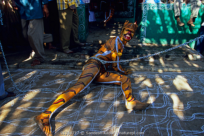 Men painted in the stripes of a tiger, dance through the streets of towns and villages paying homage at temples along the way as part of Huli Vesha, Tiger Dance, Western Ghats, Southern India  ,  ASIA,CHAINS,CULTURES,DANCE,DANCING,DECORATED,DETAIL,ENVIRONMENTAL,FESTIVAL,HIGHLANDS,INDIA,INDIAN SUBCONTINENT,ORNATE,PEOPLE,SAHYADRI,SOUTHERN INDIA,TRADITIONAL,TRIBAL,TRIBES,TROPICAL  ,  Sandesh Kadur