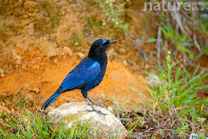 Malabar whistling thrush (Myophonus horsfieldii) perched on rock, known for its human-like whistle, this bird inhabits wooded ravines in the Western Ghats, India  ,  ASIA,BIRDS,BLUE,INDIA,INDIAN SUBCONTINENT,IRRIDESCENT,PROFILE,SONGBIRDS,THRUSHES,TURDIDAE,VERTEBRATES  ,  Sandesh Kadur