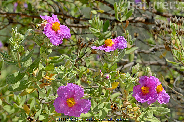 Grey leaved cistus (Cistus albidus) flowers, Mallorca, April  ,  BALEARIC ISLANDS,CISTACEAE,DICOTYLEDONS,EUROPE,FLOWERS,MAJORCA,PLANTS,PURPLE,SPAIN,SPRING  ,  Adrian Davies