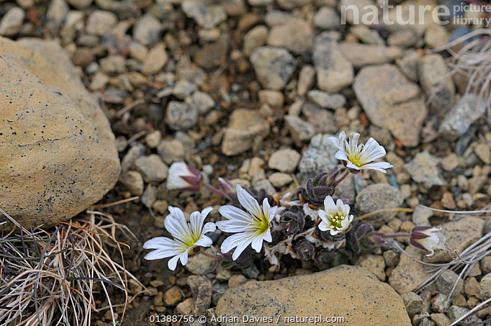 Shetland mouse ear / Edmonston's chickweed(Cerastium nigrescens) Keen of Hamar, Unst, Shetland, Scotland, UK, June.  ,  CARYOPHYLLACEAE,DICOTYLEDONS,EUROPE,FLOWERS,PLANTS,RESERVE,ROCKS,SCOTLAND,SHETLAND,UK,United Kingdom  ,  Adrian Davies