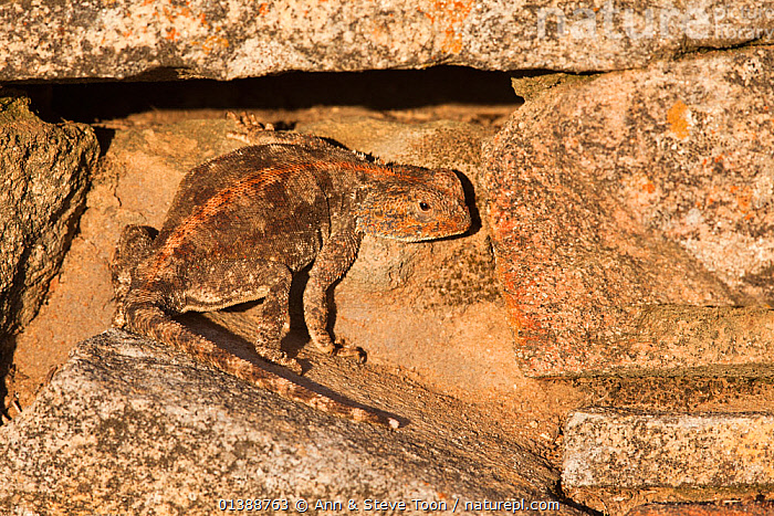 Southern rock agama (Agama atra atra) camouflaged against rock, Northern Cape, South Africa, February  ,  AFRICA,AGAMAS,AGAMIDAE,CAMOUFLAGE,LIZARDS,ROCKS,SOUTH AFRICA,VERTEBRATES,,Lizards,,,Lizards,  ,  Ann & Steve Toon