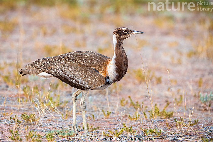 Ludwig's bustard (Neotis ludwigii), Kgalagadi Transfrontier park, Northern Cape, South Africa, January, Endangered species  ,  AFRICA,BIRDS,BUSTARDS,ENDANGERED,NP,OTIDIDAE,PROFILE,SOUTH AFRICA,VERTEBRATES,National Park  ,  Ann & Steve Toon