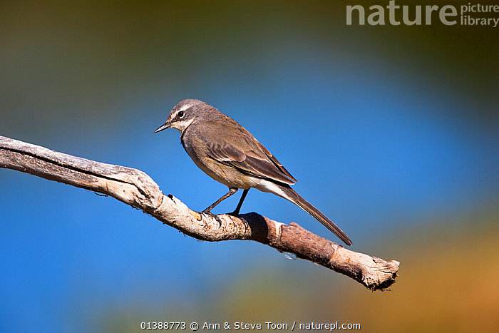 Cape wagtail (Motacilla capensis) perched, Intaka island, Cape Town, South Africa, February  ,  AFRICA,BIRDS,MOTACILLIDAE,PROFILE,SONGBIRDS,SOUTH AFRICA,VERTEBRATES,WAGTAILS  ,  Ann & Steve Toon