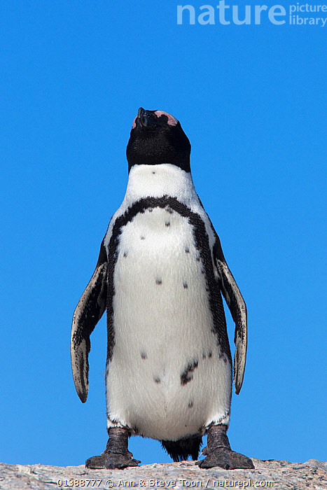 African / Black footed penguin (Spheniscus demersus), Table Mountain National Park, Cape Town, South Africa, February  ,  AFRICA,BIRDS,BLACK AND WHITE,FLIGHTLESS,JACKASS PENGUIN,LOW ANGLE SHOT,NP,PENGUINS,PORTRAITS,SEABIRDS,SOUTH AFRICA,VERTEBRATES,VERTICAL,National Park  ,  Ann & Steve Toon