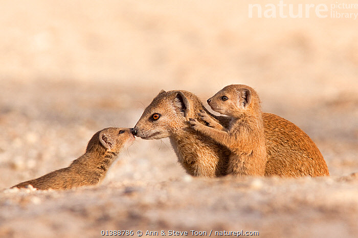 Yellow mongoose (Cynictis penicillata) adult with young, Kgalagadi Transfrontier Park, South Africa, January  ,  AFFECTIONATE,AFRICA,BABIES,BEHAVIOUR,CARNIVORES,CUTE,DESERTS,FAMILIES,HERPESTIDAE,MAMMALS,MONGOOSES,MOTHER BABY,NP,SOUTH AFRICA,VERTEBRATES,National Park  ,  Ann & Steve Toon