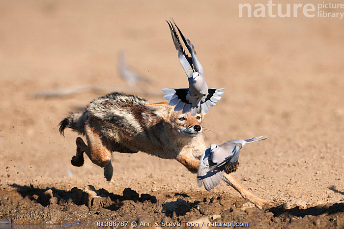 Black backed jackal (Canis mesomelas) chasing doves from waterhole, Kgalagadi Transfrontier Park, South Africa, January 2012  ,  ACTION,AFRICA,BEHAVIOUR,BIRDS,CANIDAE,CANIDS,CARNIVORES,DESERTS,DOVE,DOVES,FLYING,JACKALS,MAMMALS,NP,PREDATION,RUNNING,SOUTH AFRICA,VERTEBRATES,WATER,WATERHOLE,National Park  ,  Ann & Steve Toon