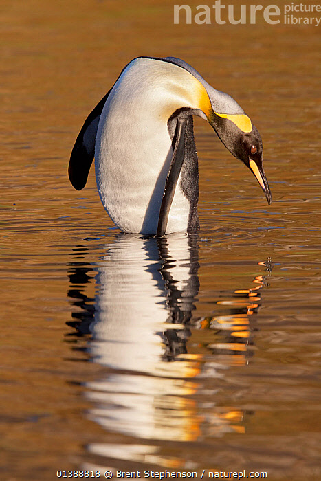 King penguin (Aptenodytes patagonicus) baths in shallow water with a golden reflection at sunrise, Grytviken Harbour, South Georgia, South Atlantic, March.  ,  ATLANTIC,BIRDS,DAWN,FLIGHTLESS,PENGUINS,REFLECTIONS,SEABIRDS,SOUTH ATLANTIC ISLANDS,SUBANTARCTIC ISLANDS,SUB ANTARCTIC ISLANDS,SUNRISE,VERTEBRATES,VERTICAL,WATER,Marine,FALKLAND ISLANDS  ,  Brent Stephenson