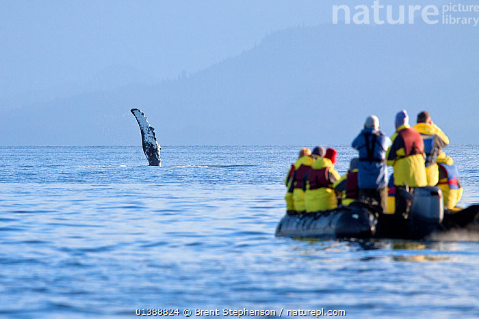 Humpback whale fin (Megaptera novaeangliae) with cruiseship passengers watching from a zodiac, Admiralty Island, Alaska, United States, July. No release available.  ,  ALASKA,BALAENOPTERIDAE,BOATS,CETACEANS,ECOTOURISM,INFLATABLE BOATS,ISLANDS,MAMMALS,MARINE,PEOPLE,REAR VIEWS,RIBS,TOURISM,USA,VERTEBRATES,WATER,WHALES,MOTORBOATS  ,North America,Catalogue5  ,  Brent Stephenson