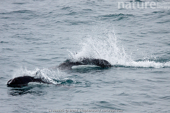 Dall's porpoise (Phocoenoides dalli) two breaking the surface with their characteristic rooster tail of spray, off Kayak Island, Alaska, United States, July.  ,  CETACEANS,ISLANDS,MAMMALS,MARINE,PHOCOENIDAE,PORPOISES,SPRAY,SURFACE,TWO,USA,VERTEBRATES,WATER,North America  ,  Brent Stephenson