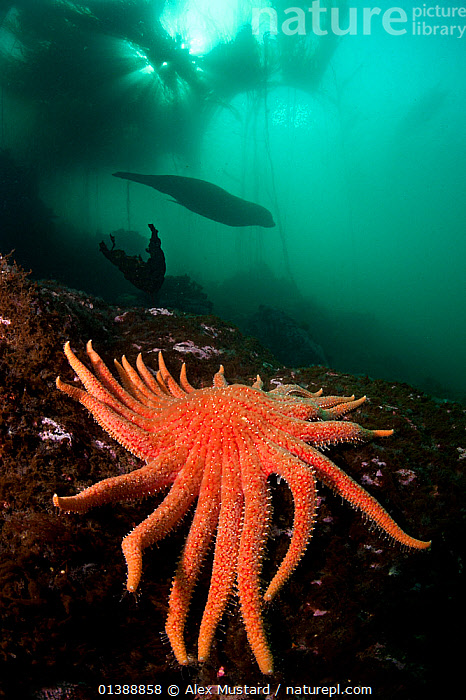 Steller sealion (Eumetopias jubatus) 3 metre long male swimming out of a kelp forest, passing a colourful Sunflower star (Pycnopodia helianthoides) Race Rocks, Victoria, Vancouver Island, British Columbia, Canada, North East Pacific Ocean.  ,  ASTEROIDEA,CANADA,COLOURFUL,ECHINODERMS,INVERTEBRATES,KELP,MALES,NORTH AMERICA,OCEAN,ORANGE,PACIFIC OCEAN,SEA STARS,STARFISH,SWIMMING,TEMPERATE,UNDERWATER,VERTICAL,Marine,Plants,SEAWEED,AUSTRALIA  ,  Alex Mustard