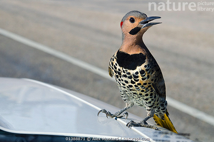 Northern flicker (Colaptes auratus) male perched on the bonnet of a truck displaying to his reflection in the windscreen, East End, Grand Cayman, Cayman Islands, British West Indies, Caribbean Sea., BEHAVIOUR,BIRDS,CARIBBEAN,COMMUNICATION,DISPLAY,ISLANDS,MALES,REFLECTIONS,ROADS,SPOTTED,TROPICAL,URBAN,VEHICLES,VERTEBRATES,VOCALISATION,WEST INDIES,WOODPECKERS, Alex Mustard