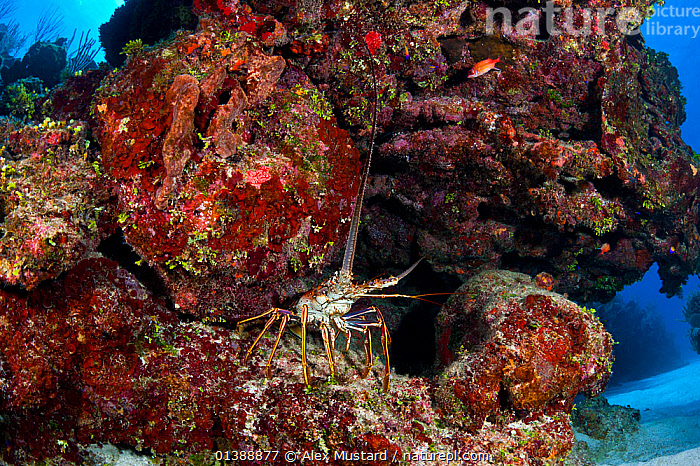 Caribbean spiny lobster (Panulirus argus) sheltering under an overhang on a coral reef, East End, Grand Cayman, Cayman Islands, British West Indies, Caribbean Sea.  ,  ARTHROPODS,ATLANTIC OCEAN,CARIBBEAN,CORAL REEFS,CORALS,CRUSTACEANS,INVERTEBRATES,ISLANDS,MARINE,SPIKEY,SPINY LOBSTERS,TROPICAL,UNDERWATER,WEST INDIES  ,  Alex Mustard
