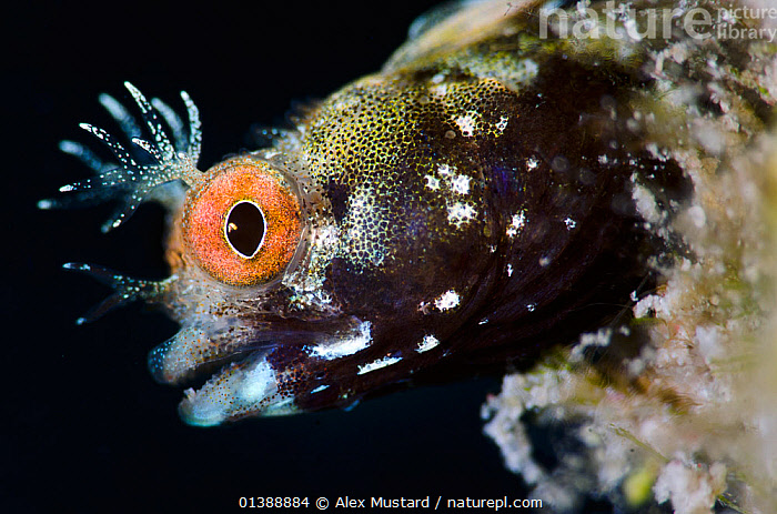 Roughhead blenny (Acanthemblemaria aspera) male portrait. This species is very small, just 20mm long and 1-2mm deep, East End, Grand Cayman, Cayman Islands, British West Indies, Caribbean Sea.  ,  ATLANTIC OCEAN,BLENNIES,CARIBBEAN,CHAENOPSIDAE,CLOSE UPS,COLOURFUL,EYES,FACES,FISH,HEADS,ISLANDS,MACRO,MALES,MARINE,ORANGE,OSTEICHTHYES,PORTRAITS,PROFILE,TROPICAL,UNDERWATER,VERTEBRATES,WEST INDIES  ,  Alex Mustard