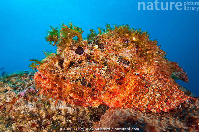 Spotted scorpionfish (Scorpaena plumieri) waits to ambush prey on top of a boulder on a coral reef, East End, Grand Cayman, Cayman Islands, British West Indies, Caribbean Sea.  ,  ATLANTIC OCEAN,CAMOUFLAGE,CARIBBEAN,CORAL REEFS,CORALS,FISH,ISLANDS,MARINE,ORANGE,OSTEICHTHYES,PREDATION,SCORPIONFISH,TROPICAL,UNDERWATER,VERTEBRATES,WEST INDIES,Behaviour  ,  Alex Mustard