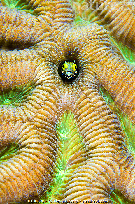 Secretary blenny (Acanthemblemaria maria) peering out of a boulder brain coral (Colpophyllia natans) East End, Grand Cayman, Cayman Islands, British West Indies, Caribbean Sea.  ,  ANTHOZOANS,ATLANTIC OCEAN,BLENNIES,CARIBBEAN,CLOSE UPS,CNIDARIANS,CORAL REEFS,CORALS,FACES,FISH,HARD CORALS,HEADS,HUMOROUS,INVERTEBRATES,ISLANDS,MARINE,MIXED SPECIES,OSTEICHTHYES,PATTERNS,PORTRAITS,TROPICAL,UNDERWATER,VERTEBRATES,VERTICAL,WEST INDIES,Concepts  ,  Alex Mustard