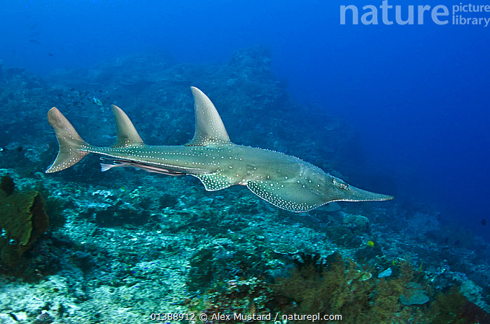 Giant guitarfish (Rhynchobatus djiddensis) swimming over a coral reef, Gili Lawa Laut, Komodo National Park, Indonesia, Flores Sea.  ,  CORAL REEFS,CORALS,FISH,INDONESIA,MARINE,NP,PORTRAITS,PROFILE,RAJIFORMES,RHYNCHOBATIDAE,SOUTH EAST ASIA,SWIMMING,TROPICAL,UNDERWATER,VERTEBRATES,VULNERABLE,SOUTH-EAST-ASIA,Asia,National Park,,NP,Komodo National Park,UNESCO World Heritage Site,  ,  Alex Mustard