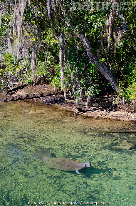 Florida manatee (Trichechus manatus latirostrus) swimming in river, Florida, USA.  ,  FLORIDA,FRESHWATER,MAMMALS,MANATEES,RIVERS,SHALLOW,SURFACE,USA,VERTEBRATES,VERTICAL,WATER,North America  ,  Alex Mustard