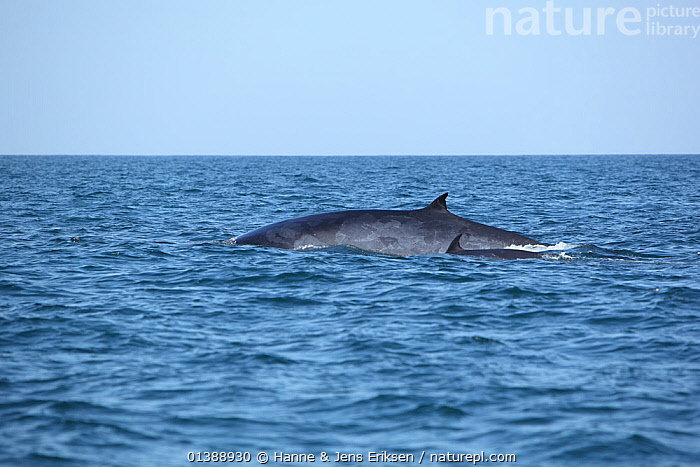 Bryde's whale (Balaenoptera edeni) adult and young surfacing, Indian Ocean, Oman, March.  ,  ARABIA,BABIES,BALAENOPTERIDAE,CETACEANS,FINS,INDIAN OCEAN,JUVENILE,MAMMALS,MARINE,MIDDLE EAST,MOTHER BABY,OMAN,PORTRAITS,SURFACE,SWIMMING,TWO,VERTEBRATES,WATER,WHALES,YOUNG,,Baleen whale,  ,  Hanne & Jens Eriksen