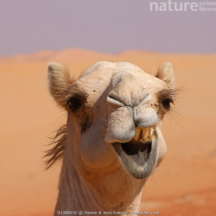 Dromedary / Arabian camel (Camelus dromedarius) close-up of face showing teeth, in desert, UAE, December. Not available for ringtone/wallpaper use.  ,  ARTIODACTYLA,CAMELIDAE,CAMELIDS,CAMELS,CLOSE UPS,DESERTS,EXPRESSIONS,FACES,HUMOROUS,LOOKING AT CAMERA,MAMMALS,MIDDLE EAST,PORTRAITS,SQUARE ,TEETH,VERTEBRATES,Concepts,RINGTONE  ,  Hanne & Jens Eriksen