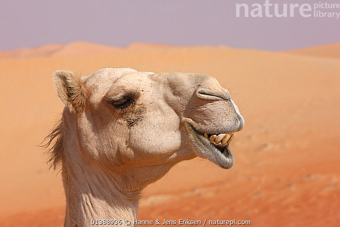 Dromedary / Arabian camel (Camelus dromedarius) close-up profile of face showing teeth, in desert, UAE, December. Not available for ringtone/wallpaper use., ARTIODACTYLA,CAMELIDAE,CAMELIDS,CAMELS,CLOSE UPS,DESERTS,EXPRESSIONS,FACES,HUMOROUS,MAMMALS,MIDDLE EAST,PORTRAITS,PROFILE,SQUARE ,TEETH,VERTEBRATES,Concepts,Catalogue5,RINGTONE, Hanne & Jens Eriksen