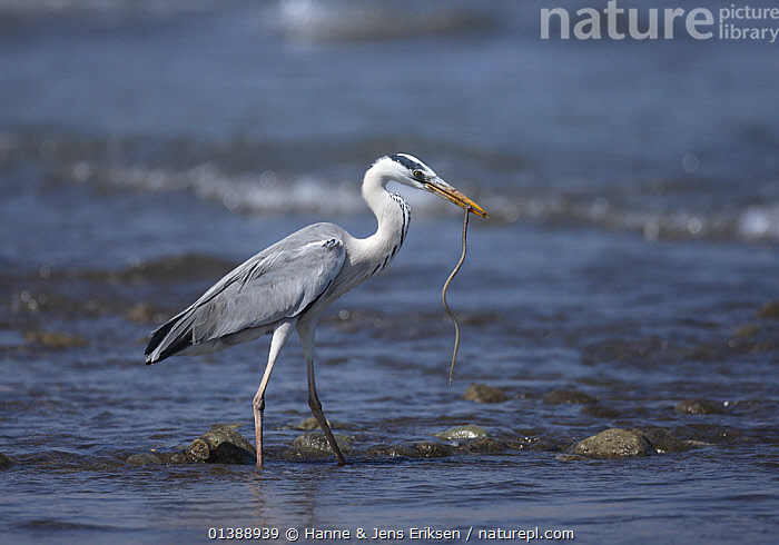 Grey heron (Ardea cinerea) standing in water with prey in beak, Oman, February.  ,  ARABIA,ARDEIDAE,BEHAVIOUR,BIRDS,FEEDING,HERONS,MIDDLE EAST,OMAN,PORTRAITS,PREDATION,PROFILE,VERTEBRATES,WATER  ,  Hanne & Jens Eriksen