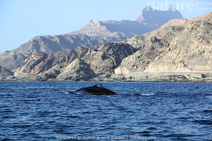 Humpback whale (Megaptera novaeangliae) surfacing near land, part of a population that may be non-migratory, Indian Ocean, Oman, March., ARABIA,BALAENOPTERIDAE,CETACEANS,COASTS,FINS,HABITAT,INDIAN OCEAN,MAMMALS,MARINE,MIDDLE EAST,MOUNTAINS,OMAN,ROCKS,SURFACE,SWIMMING,VERTEBRATES,WATER,WHALES, Hanne & Jens Eriksen