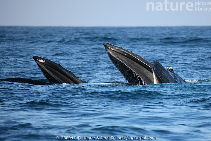 Humpback whale (Megaptera novaeangliae) three feeding, part of a population that may be non-migratory, Indian Ocean, Oman, March., ARABIA,BALAENOPTERIDAE,BEHAVIOUR,CETACEANS,FEEDING,GROUPS,HEADS,INDIAN OCEAN,MAMMALS,MARINE,MIDDLE EAST,OMAN,PREDATION,SWIMMING,THREE,VERTEBRATES,WATER,WHALES, Hanne & Jens Eriksen